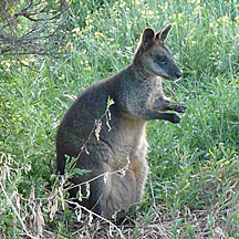 photo of kangaroo